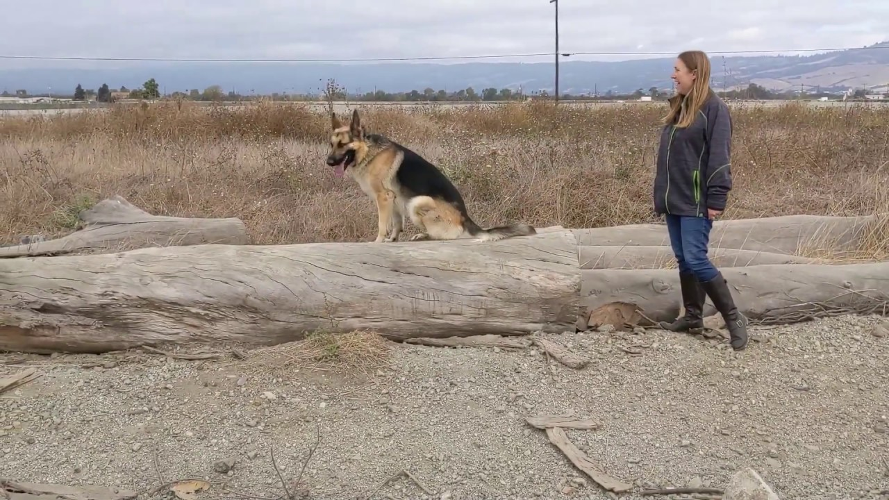 German Shepherd Drako Dog Training in Monterey CA - German Shepherd | Drako | Dog Training in Monterey, CA