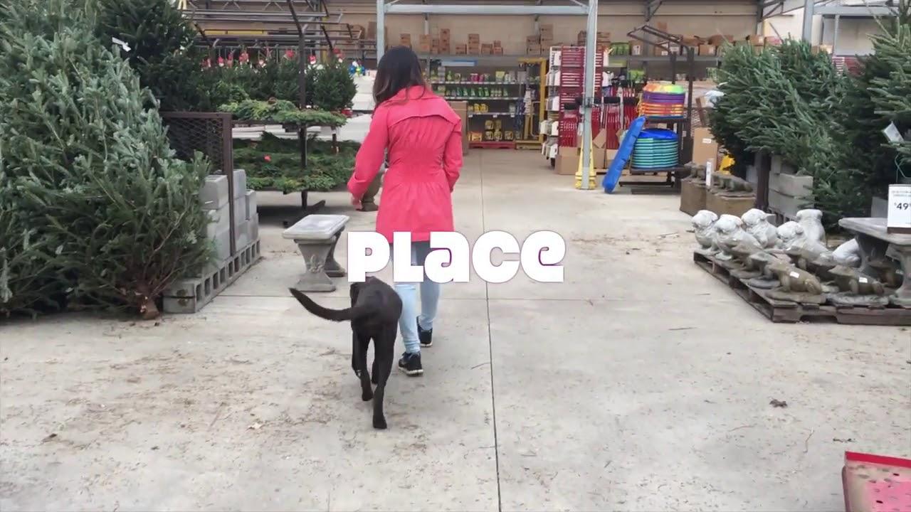 5 Month Old Lab Bailey Black Labrador Dog Training - 5 Month Old Lab, Bailey!  Black Labrador Dog Training