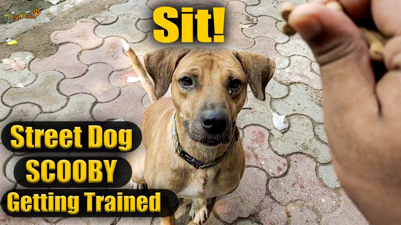 Street Dog SCOOBY Dog Training How to Sit DogsPedia - Street Dog SCOOBY Dog Training :  How to Sit!! : DogsPedia