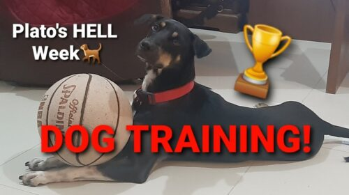 DOG TRAINING MASTER TRAINER Short Clip 500x280 - DOG TRAINING / MASTER TRAINER  (Short Clip)